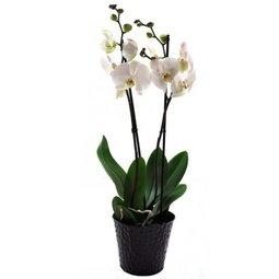 Orhidee alba - 2 ramuri