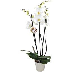 Orhidee alba cu 3 ramuri