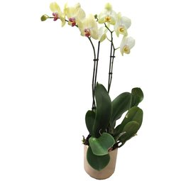 Orhidee galben verzuie