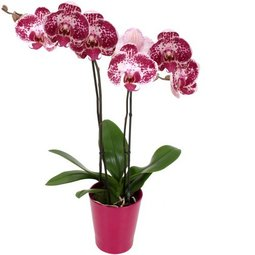 Orhidee patata