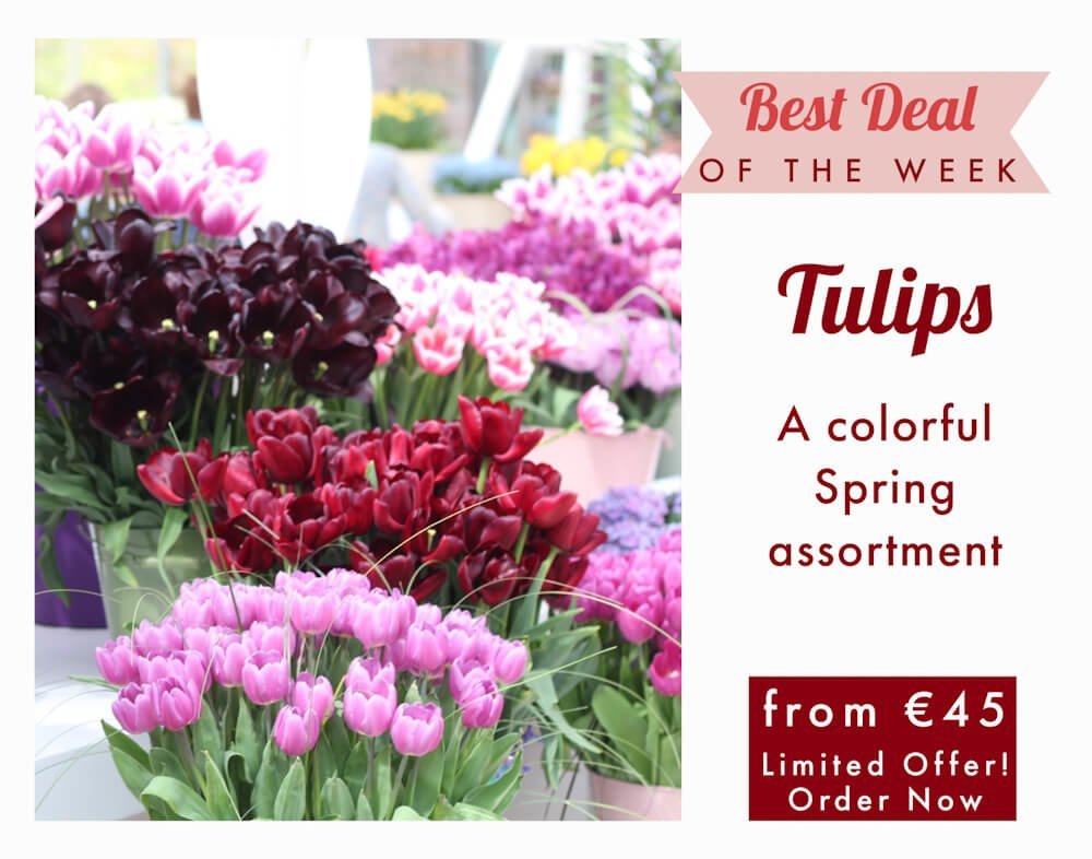 Send Tulips to Milan