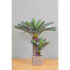 Cycas Revoluta Palm, 150CM