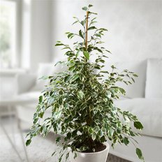 Online Plants | Delivery Ficus Plant in Milan and Monza