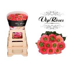 Houdini Vip Roses
