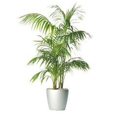 Online Howea Plant | Sending Plants to Milan and Monza