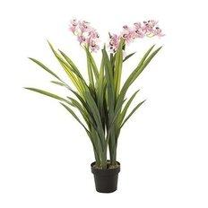 Orchidea Cymbidium, 130CM
