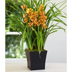 Orchidea Cymbidium in vaso