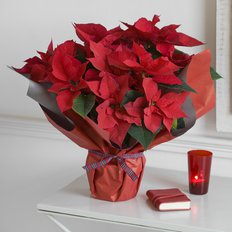 Send Red Poinsettia to Milan | Flowers Delivery | Local Florist