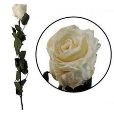 Preserved Rose, Ivory