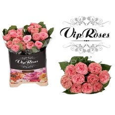 Pride of Jane Roses