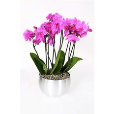 Purple Luxury Phalenopsis