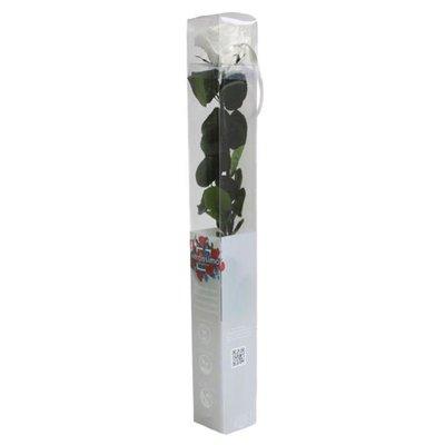 Rosa Amorosa Stabilizzata Bianco