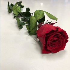 Rosa Amorosa Stabilizzata Bordeaux