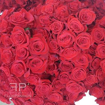 Rose Freedom