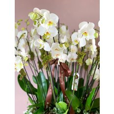 Spectacular Phalaenopsis Orchids