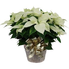 White Christmas Poinsettia | Plants Delivery | Milan Local Florist