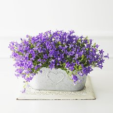 Campanula VIntage Pot | Flowering Plants Same Day Delivery Milan
