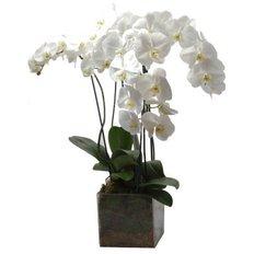 White Phalenopsis