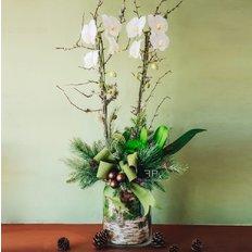 Orchidea Phalenopsis Invio Piante Milano | Fiorista Online