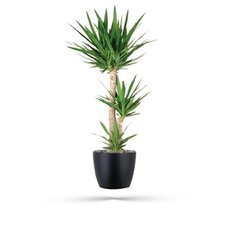 Yucca Plant | Green Plants Delivery Milan